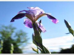 Гладиолусы: посадка, уход за луковицами и выращивание