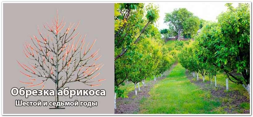 Обрезка абрикосового дерева на шестой год