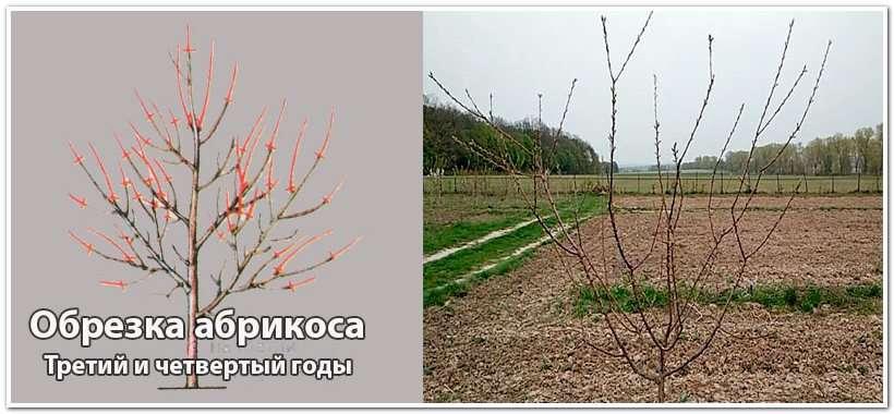 Обрезка абрикосового дерева на третий год