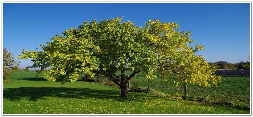 Осенний абрикос