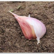 Посадка чеснока под зиму: какие сорта, когда и как сажать