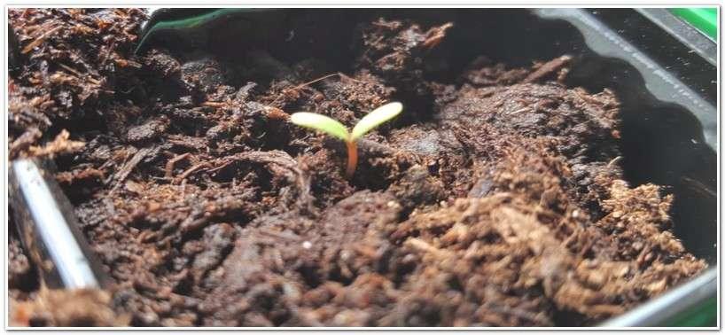 как выглядят всходы клубники из семян