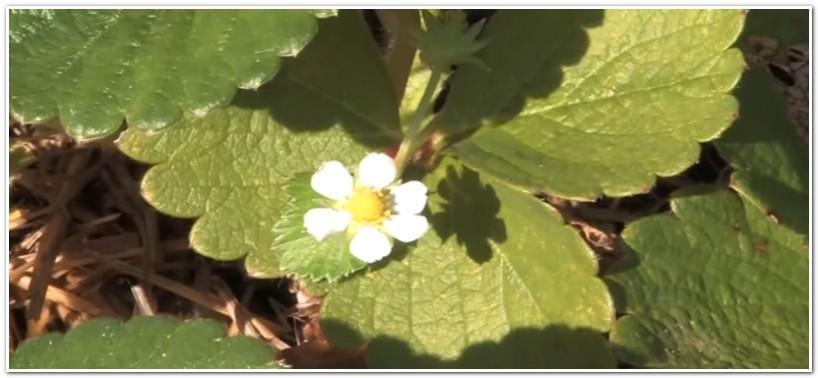 Цветущая клубника