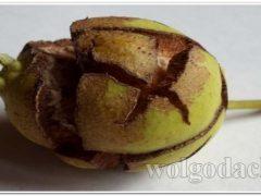 Почему трескаются плоды груши и что с этим делать