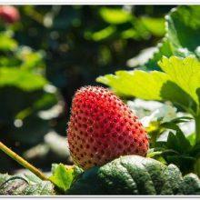 Выращивание клубники на Урале: посадка в открытый грунт и уход