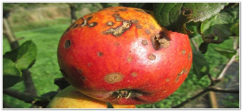 Поврежденное яблоко