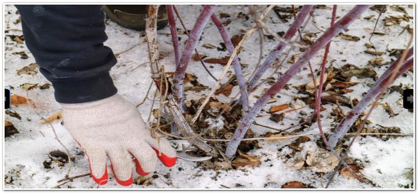 Весеннюю обрезку малины делают до начала сокодвижения