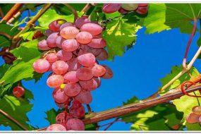 Защита винограда от ос: сетка, мешочки и ловушки