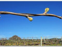 Обработка винограда весной от болезней и вредителей