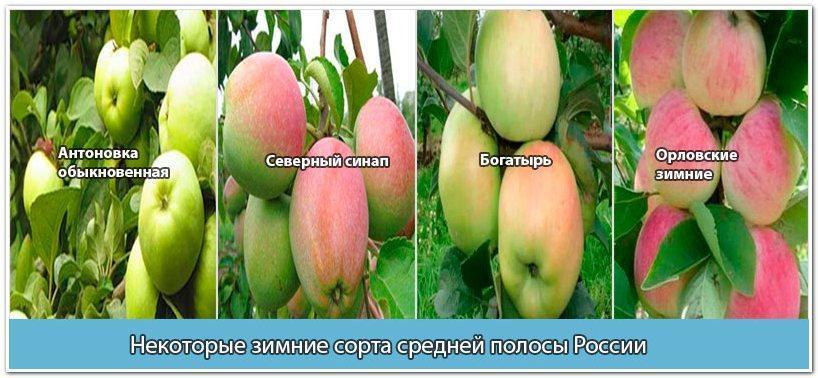 Яблоки для зимнего хранения