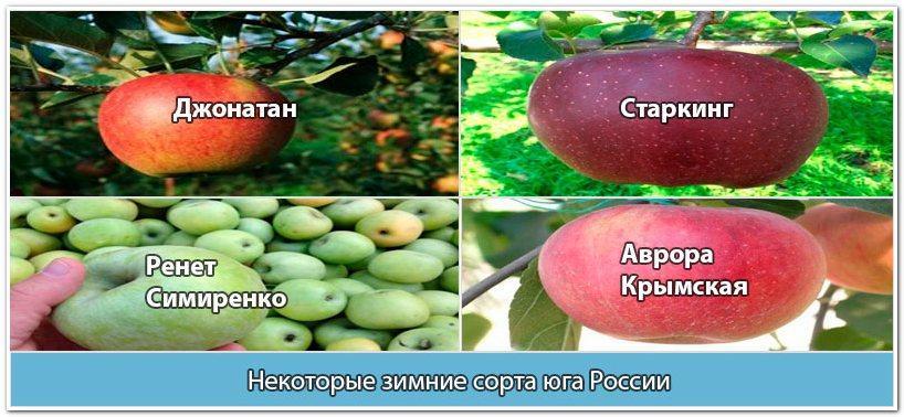 Южные сорта зимних яблок