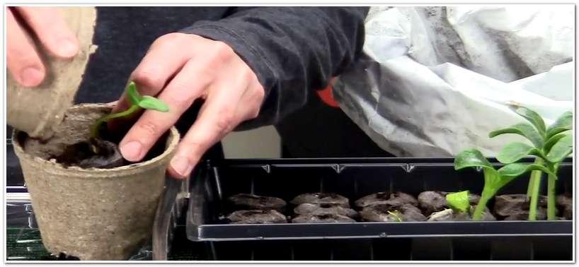 Пересадка рассады из торфяной таблетки в грунт
