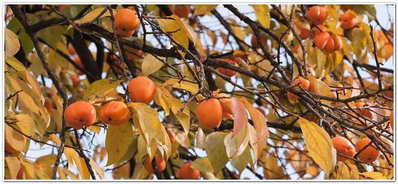 Хурма. Дерево с плодами