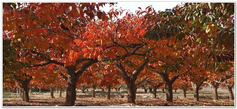 Сад из деревьев хурмы