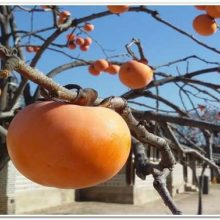 Хурма это фрукт или ягода? Популярные сорта.