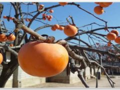 Хурма это фрукт или ягода{q} Популярные сорта.