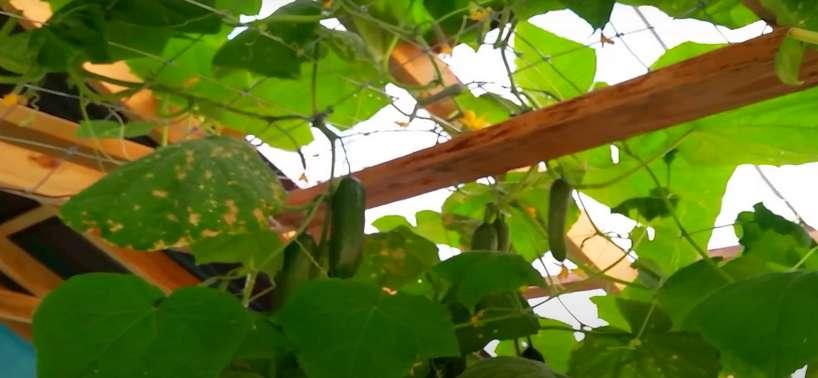 Листья огурца пораженные бактериозом