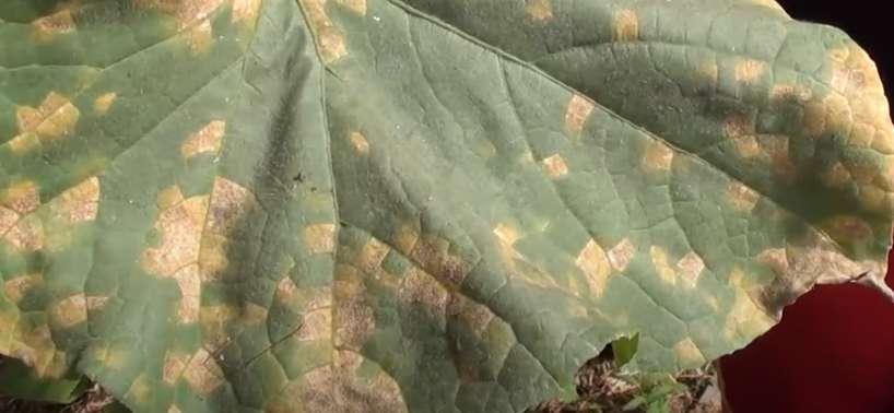 Лист огурца, пораженный ложной мучнистой росой