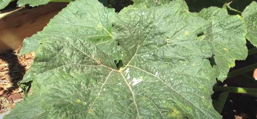 Листья огурца, пораженного мучнистой росой
