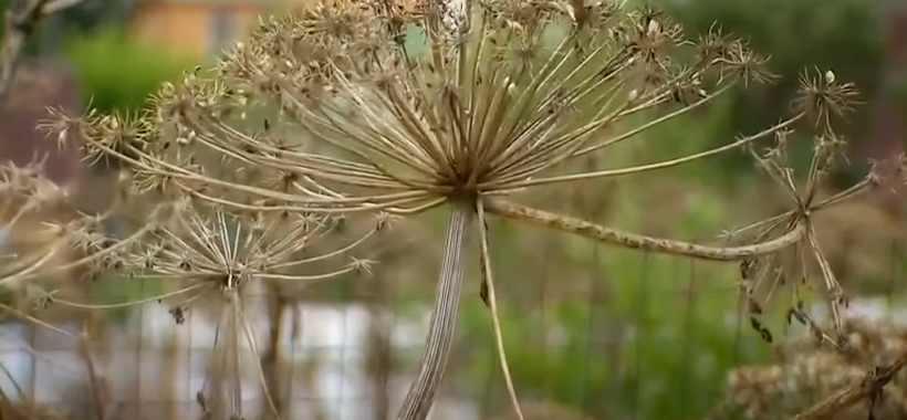 Семена борщевика
